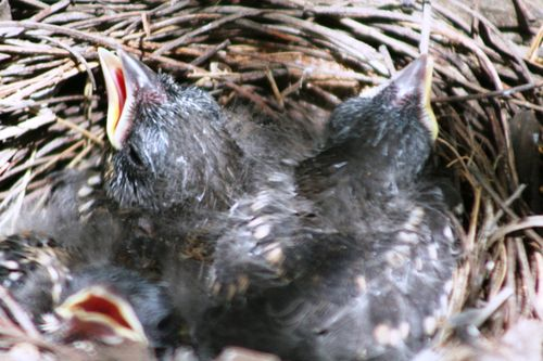 Baby birds close up 002